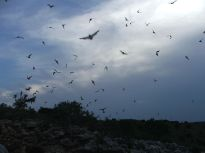 640px-Free-tailed_bats