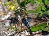 Blue Dragonfliy